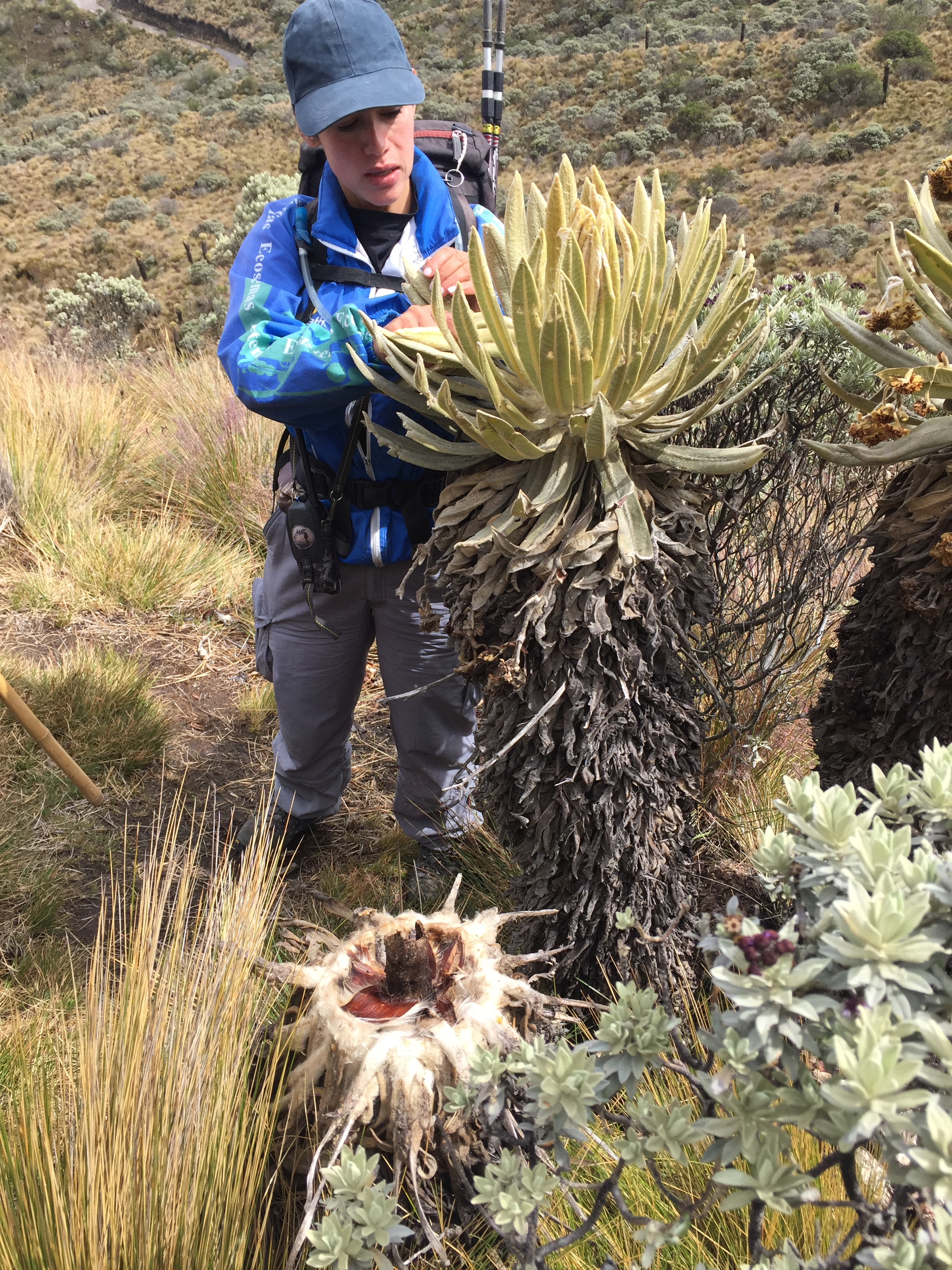 A guide explains a strange, furry tree that is only 4 feet tall. The trunk is covered in what appears to be dirty cotton and blooms into a large flower at the top. The flowers petals are also furry, and a hay-colored yellow.