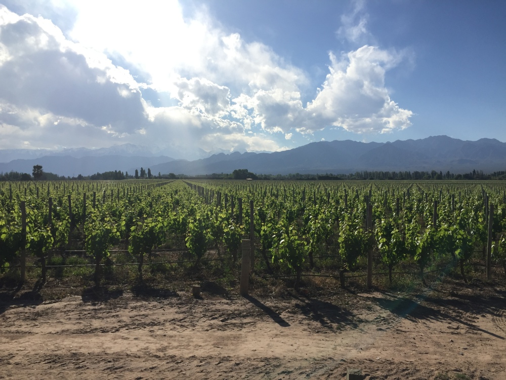 Rows of grapevines leading up to giant mountains and a blue sky with large white clouds floating by
